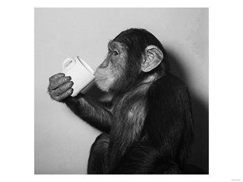 chimp-drinking-tea